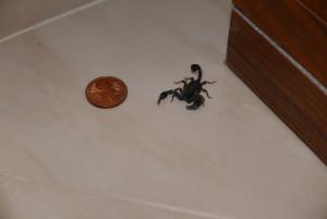 Hausgast: Ein kleiner Skorpion.